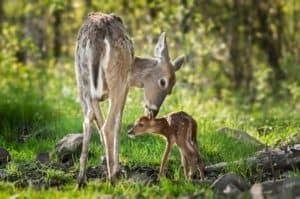 A white-tailed deer sniffing behind her fawn's ears.