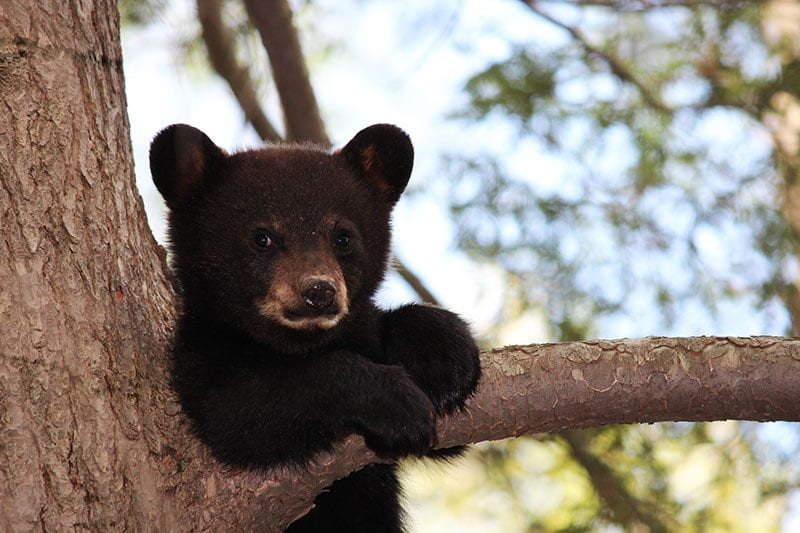 Black bear in tree in Smoky Mountains