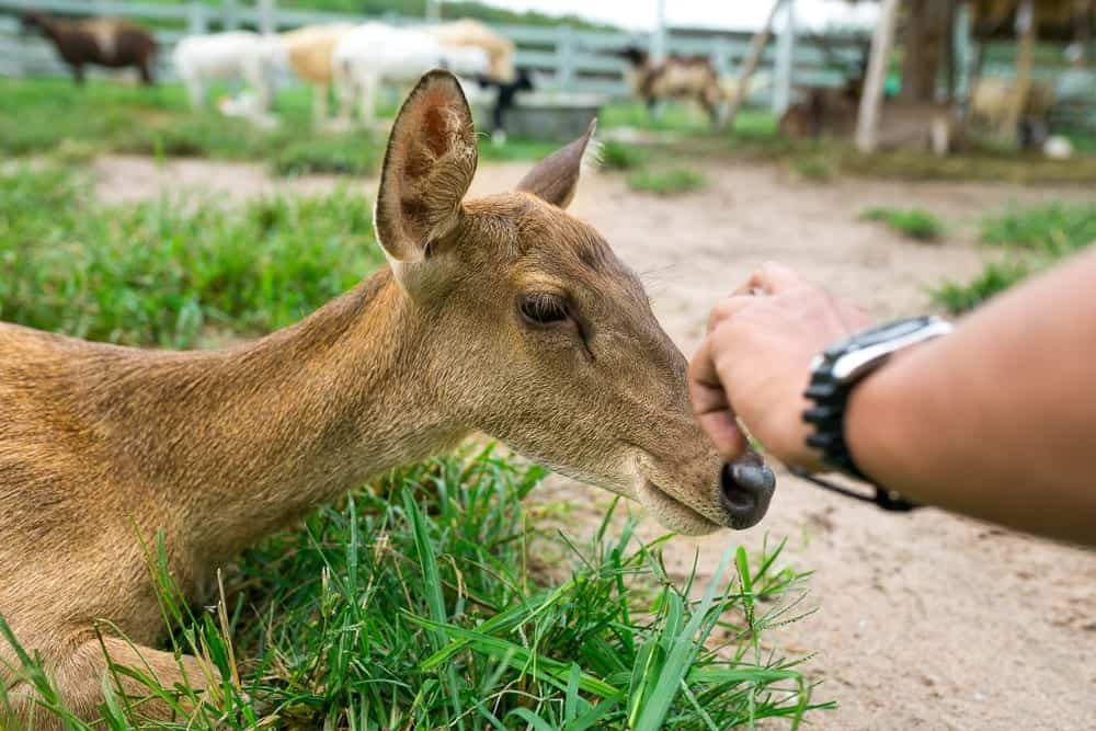 person petting a deer